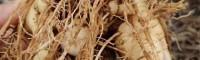 黄精种子市场价格多少钱一斤?什么时候播种?附种植技术