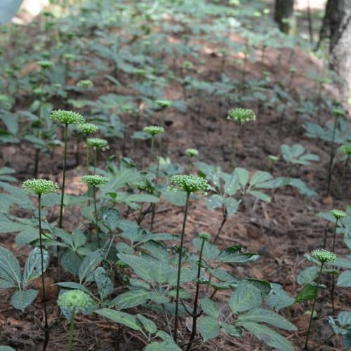 林下三七的优质丰产栽培技术 滇重楼、滇黄精、白芨、食用菌 会泽林下种植有限公司