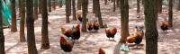 现在林下养3000只鸡大约需要多少成本?附夏季养殖注意事项! 会泽林下种植有限公司