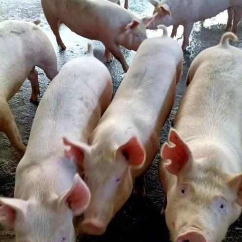 野猪肉市场行情价格多少钱一斤?怕什么?怎么抓捕?