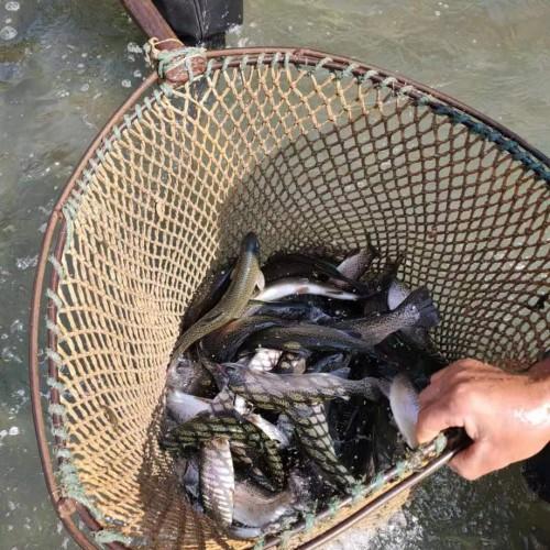 罗非鱼鱼苗多少钱?怎么养才好?会泽滇泽水产养殖有限公司