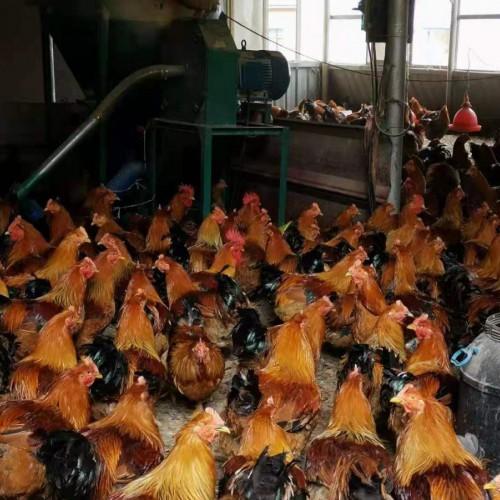 |放养三黄鸡|脱温鸡苗云南沾益县盘江大菁山家庭农场