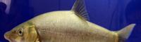 云南裂腹鱼销售