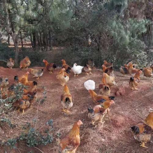 土鸡批发价多少钱一斤#土鸡苗批发网@屏边土鸡批发价格