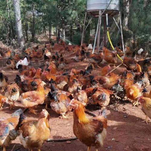 土鸡收购商#土鸡批发价格多少