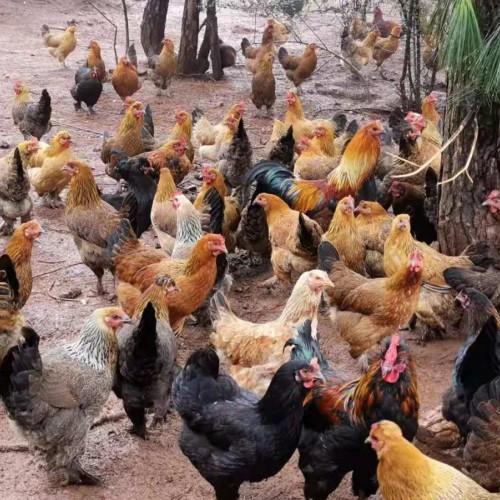 云南昆明_三黄鸡,毛脚土鸡,快大乌骨鸡,黑毛乌鸡价格行情价格