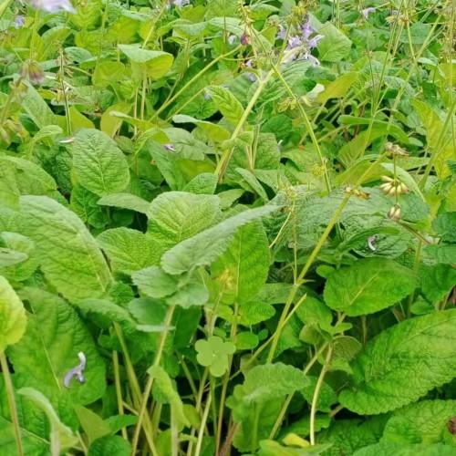 大量滇紫丹参苗、种子基地,欢迎咨询,欢迎考察