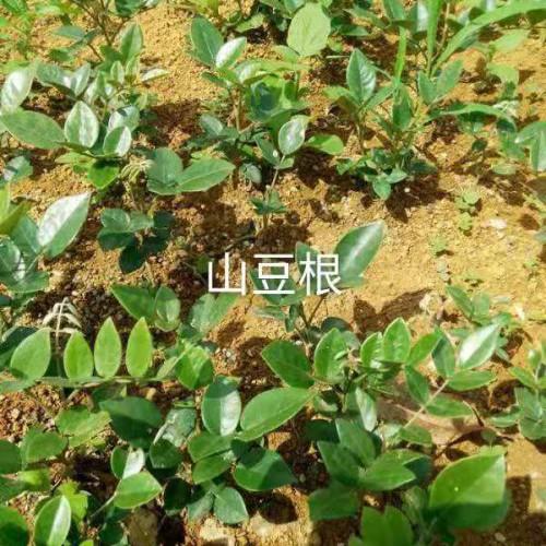 山豆根用途多,经济效益不错,这样种植才正确