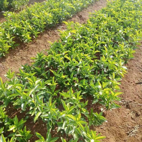 桔子苗(无籽沃柑苗)明日见,红美人桔子树种植几年结果
