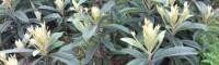 大五星枇杷苗个旧市 枇杷树苗价格 如何培育枇杷苗