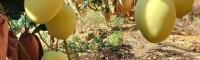 农户的鹰嘴芒,热农,小澳芒,圣德隆