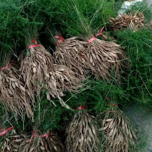天冬种子一亩多少苗 天冬种子一斤出多少苗 大天冬苗多少一株