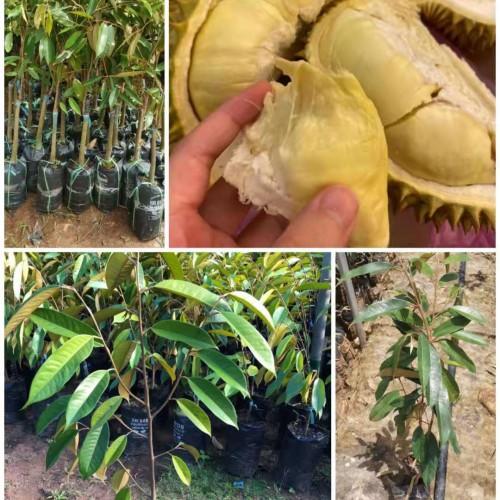 菠萝蜜榴莲苗多少一棵