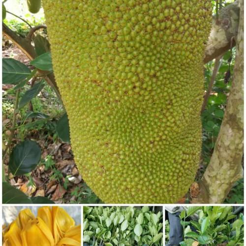 榴莲苗嫁接菠萝蜜苗 菠萝蜜和榴莲苗图 榴莲蜜与菠萝蜜嫁接苗技术