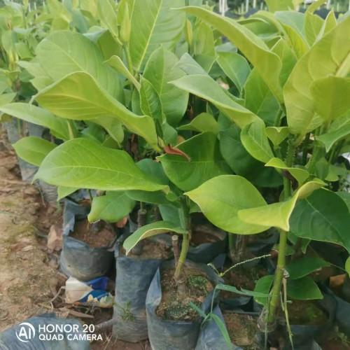 榴莲菠萝蜜棵苗 榴莲菠萝蜜苗长大的叶子 榴莲菠萝蜜苗多少钱