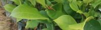 海南榴莲味菠萝蜜苗 榴莲苗与菠萝蜜苗的区别