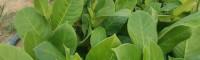 榴莲蜜菠萝蜜苗 雷州榴莲菠萝蜜苗多少钱一棵