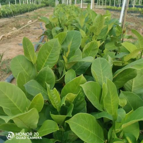 榴莲苗和菠萝蜜苗 榴莲蜜苗与菠萝蜜苗的区别 榴莲2号菠萝蜜苗