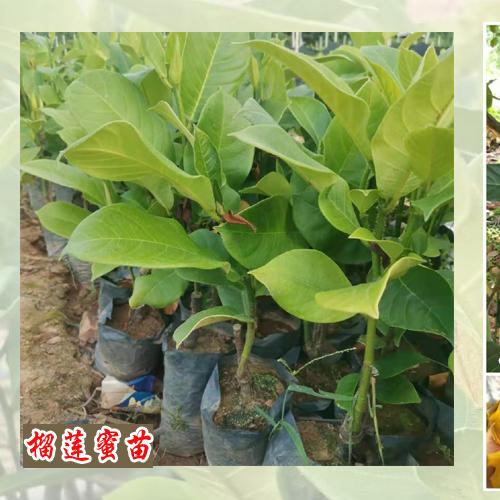 种榴莲树苗和菠萝蜜苗用什么土 榴莲菠萝蜜苗哪里有卖