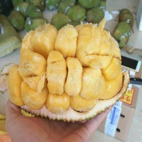 马来西亚一号菠萝蜜管理 榴莲蜜树苗特征 怎么让菠萝蜜在浙江过冬