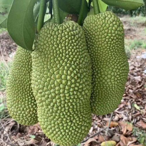 菠萝蜜如何育苗 海南1号菠萝蜜种苗 新品种泰国红肉菠萝蜜苗