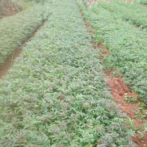 红油香椿树种植技术 香椿苗  哪里有红油香椿苗批发