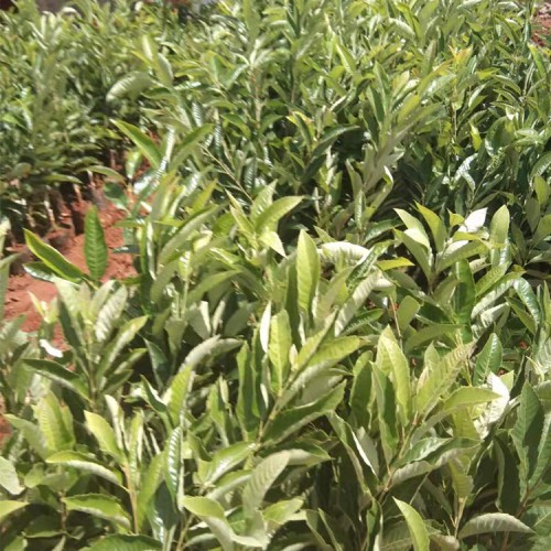 板栗种植效益及前景 南方板栗苗什么品种好 板栗苗基地哪里有