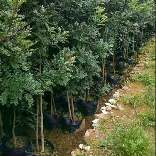 清香木的繁殖方法 清香树苗图片 清香树盆景造型图片