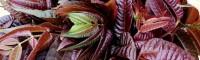 红油香椿苗 红油香椿苗的价格 红油香椿苗的种植技术