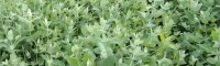 红河弥勒市桉树苗良种基地 29号桉树苗多少钱一棵 桉树苗图片
