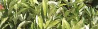 板栗苗的种植方法及时间 板栗优良品种介绍 板栗嫁接佳时期