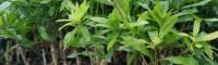 杨梅树苗基地在哪 杨梅苗怎么培育 杨梅苗一颗多少钱