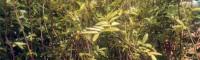青花椒树苗 青花椒种植 花椒树苗在哪里有卖的