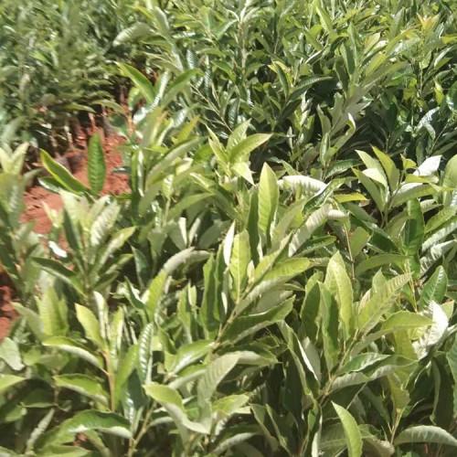 板栗苗的种植方法及时间 板栗优良品种介绍 板栗的图片