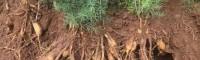 贺州南宁天冬苗中药材种植基地 玉林天冬苗场地 天冬的苗图片