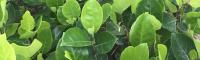 马来西亚新菠萝蜜品种 榴莲蜜树苗特征 菠萝蜜辨别生熟图解