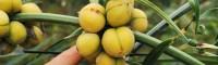 德宏滇黄精种子多少一公斤 云南保山滇黄精苗多少一株 红花黄精苗多少钱