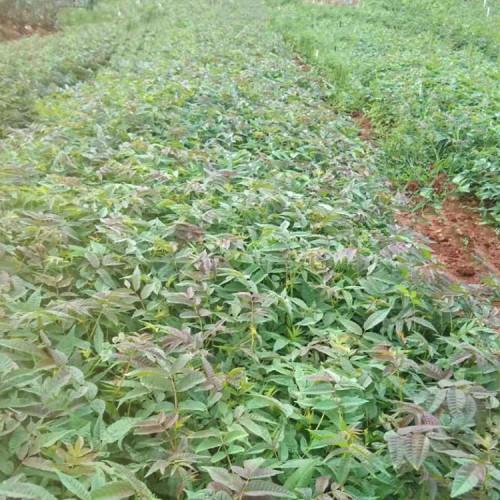 刺脑包,刺老包种子,刺老苞树苗