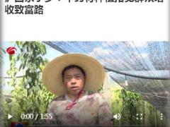 泸西永宁乡:中药材种植拓宽群众增收致富路