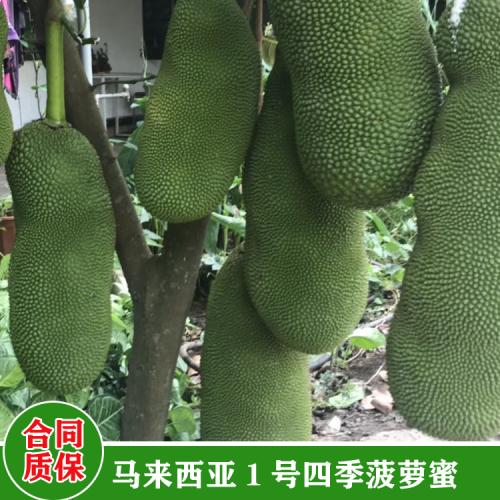 盆栽三年后红肉菠萝蜜苗 榴莲蜜树苗特征 海南榴莲蜜树苗价格