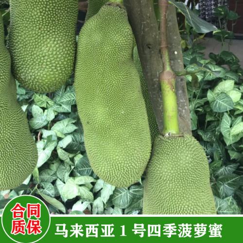 菠萝蜜苗的种植方法 海南1号菠萝蜜种苗 菠萝蜜小苗刚出土是什么样
