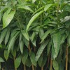 100万棵芒果苗基地直供,欢迎实地考察订购