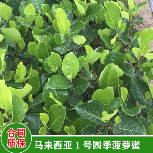 陕西菠萝蜜苗 菠萝蜜苗怎么种植方法 菠萝蜜苗用什么肥料