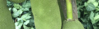 湖北菠萝蜜苗叶子发黄怎么办 菠萝蜜苗发芽 菠萝蜜苗种植技术