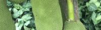 重庆菠萝蜜苗哪个品种好 菠萝蜜苗多少钱一棵 菠萝蜜苗图片超清